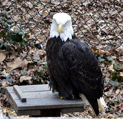 A Bald Eagle Poster