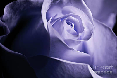 Poster featuring the photograph A Beautiful Purple Rose by Micah May
