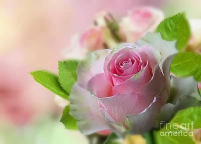 A Beautiful Rose Poster
