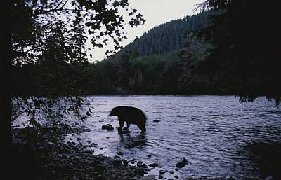 A Black Bear Searches For Sockeye Poster