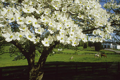 A Blossoming Dogwood Tree And Grazing Poster by Annie Griffiths