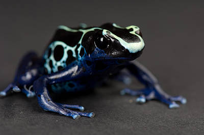 A Blue And Yellow Poison Dart Frog Poster by Joel Sartore