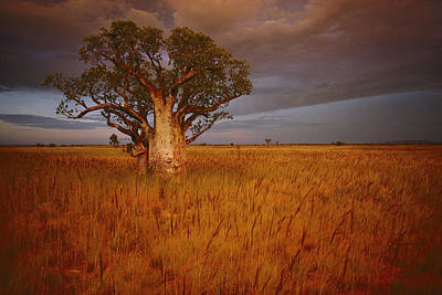 A Boab Tree Stands Solitary In The Bush Poster
