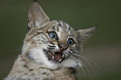 A Bobcat At A Wildlife Rescue Members Poster