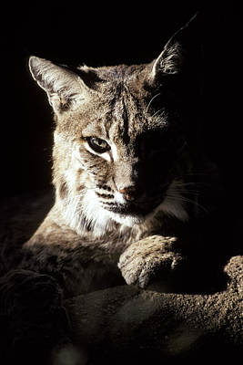 A Bobcat Sitting In A Ray Of Sun Poster