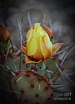 Poster featuring the photograph A Bud In The Thorns by Robert Bales