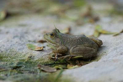 A Bullfrog At The Sunset Zoo Poster by Joel Sartore