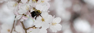 A Bumblebee Pollinates A Cherry Blossom Poster by Taylor S. Kennedy