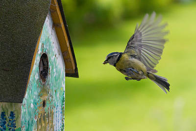 A Busy Blue Tit Mum Poster