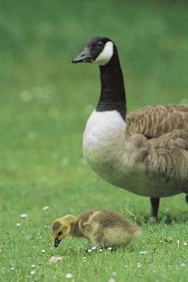 A Canada Goose Watches Over Her Gosling Poster