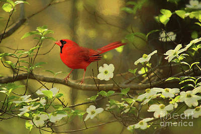 Poster featuring the photograph A Cardinal And His Dogwood by Darren Fisher