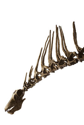 A Cast Of An Amargasaurus Showing Poster