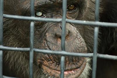 A Chimpanzee Pan Troglodytes, Blind Poster by Joel Sartore