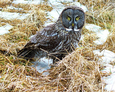 A Close Encounter - Great Gray Owl Poster