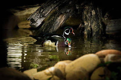 A Cold Drink - Wood Ducks Poster by TL Mair