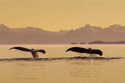 A Couple Of Humpback Whales Lift Poster