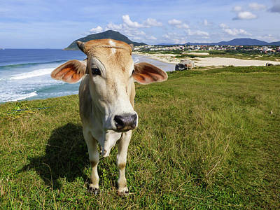 A Cow At The Beach Poster