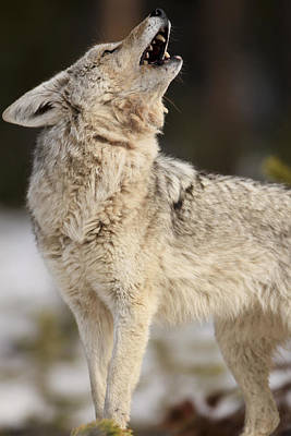 A Coyote Howls To Its Mate Poster