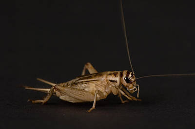 A Cricket At The Sunset Zoo Poster by Joel Sartore
