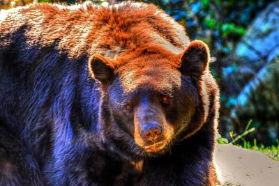 A Curious Black Bear Poster