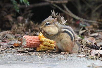 A Delicious Treat - Chipmunk Eating Corn Poster