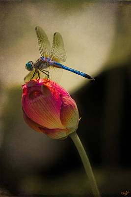 A Dragonfly Rests Momentarily On A Lotus Bud Poster