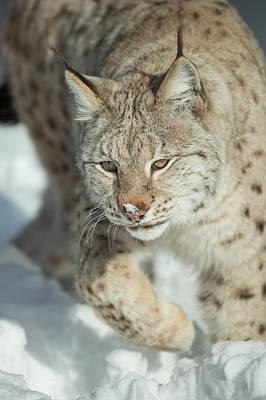 A Eurasian Lynx In Snow Poster by Andy Astbury