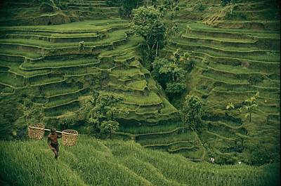 A Farmer Walks Past Terraced Rice Poster by Donna K. & Gilbert M. Grosvenor