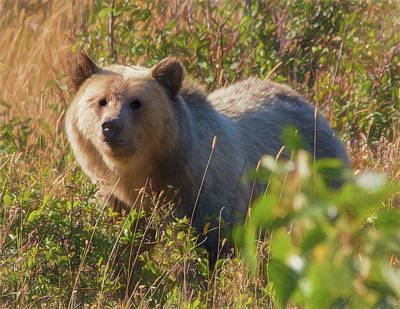 A  Female Grizzly Bear Looking Alertly At The Camera. Poster