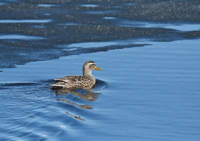 Poster featuring the photograph A Female Mallard In Thunder Bay by Michael Peychich