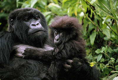 A Female Mountain Gorilla And Her Child Poster