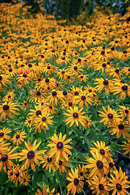 A Field Of Black-eyed-susans Poster