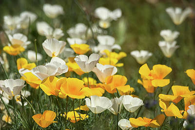 Poster featuring the photograph A Field Of Golden And White Poppies  by Saija Lehtonen