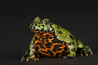 A Fire-bellied Toad Bombina Orientalis Poster by Joel Sartore