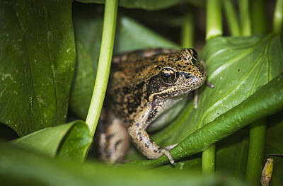 A Frog Perches On Wapato Leaves Poster by Robert L. Potts