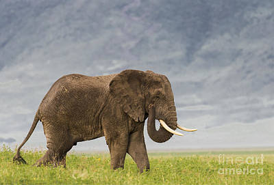 Poster featuring the photograph A Gentle Giant by Sandra Bronstein