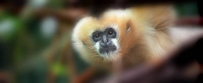 A Gibbon's Stare Poster by Greg Slocum