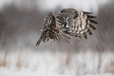 A Great Gray Owl In Flight Poster