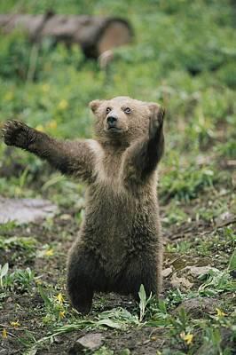 A Grizzly Bear Cub Ursus Arctos Poster