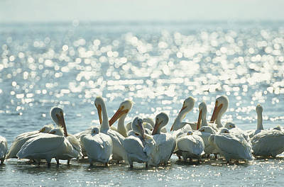 A Group Of American White Pelicans Poster