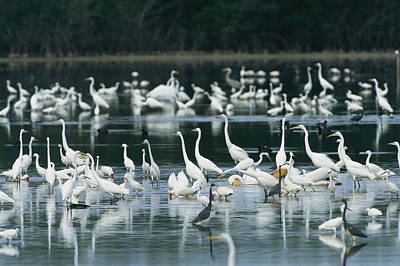 A Group Of Egrets, Herons,  Ibises Poster
