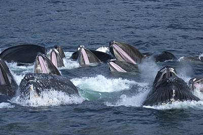 A Group Of Humpback Whales Bubble Net Poster