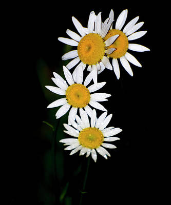 Poster featuring the digital art A Group Of Wild Daisies by Chris Flees
