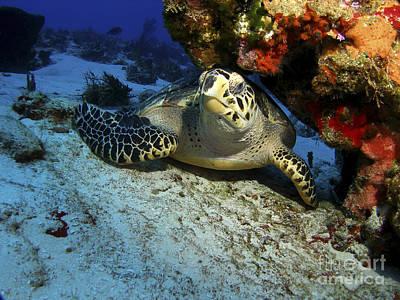 A Hawksbill Sea Turtle Resting Poster
