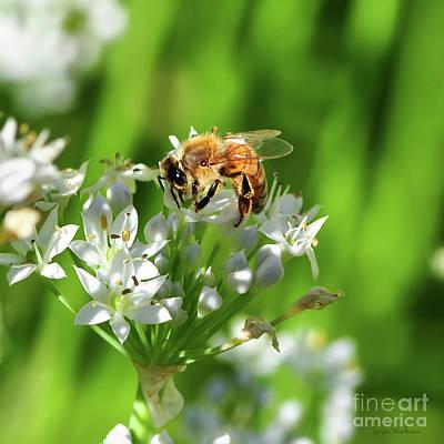 A Honey Bee At Work In An Herb Garden Poster