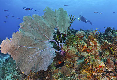 A Large Purple Sea Fan On Caribbean Poster