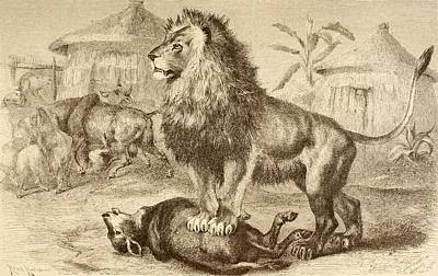 A Lion After Making A Kill In The Poster by Vintage Design Pics