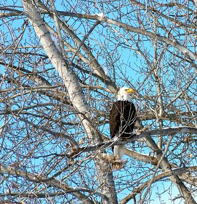 Poster featuring the photograph A Majestic Bald Eagle by Will Borden