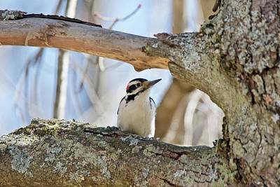 Poster featuring the photograph A Male Downey Woodpecker  1111 by Michael Peychich