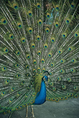 A Male Peacock Spreads His Beautiful Poster